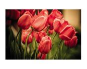1_fl_255_004_red_tulips.jpg